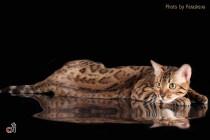 Профессиональная фотосъемка кошек. Фотограф-анималист Parskeva.