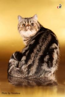 Профессиональное фото кошек. Фотограф-анималист Parskeva.