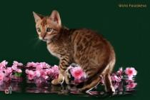 бенгальские котята продажа