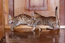 игры бенгальских котят