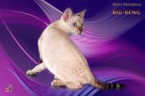 снежный  бенгальский котёнок