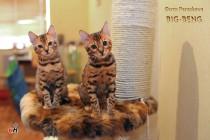 -бенгальские котята продан