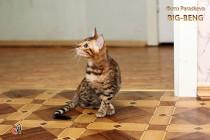 бенгальские котята  девочка продан