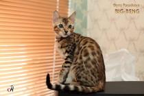 бенгальские котята продажа девочка продан