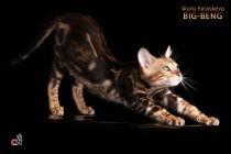 бенгальский кот мраморного окраса