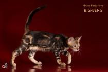 бенгальские котята продажа мальчик мраморный