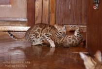 игры бенгальских кошек