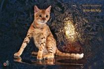 бенгальские котята продан