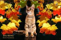бенгальские котята подан