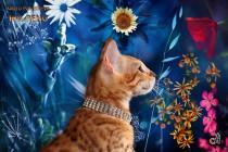 img_9145-бенгальские котята продан