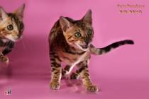 бенгальские коты бенгальские котята big-beng кот