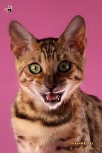 бенгальские коты бенгальские котята big-кот