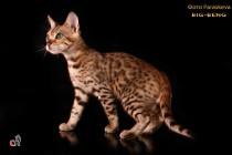 бенгальские коты бенгальские котята big-кот  продан