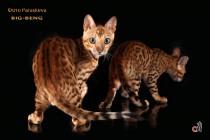 бенгальские коты бенгальские котята big-   кот  продан