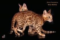 бенгальские коты бенгальские котята big-beng   кот  продан