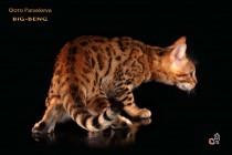 бенгальские коты бенгальские котята big-beng  кошка продан