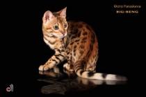 бенгальские коты бенгальские котята big-beng  кошка продана