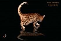 бенгальские коты бенгальские котята big- beng   продана