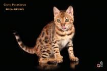 продана  коты бенгальские котята big-beng кошка продан
