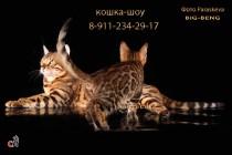 бенгальская кошка  шоу-класса  продан