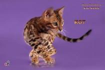 бенгальский кот шоу-класса  продан