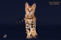 бенгальские котенок    продан