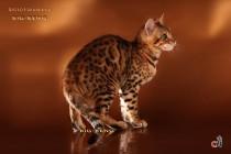 бенгальские кот