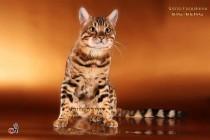 бенгальские коты бенгальские котята big-beng