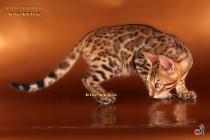 котенок леопардового окраса