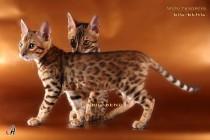 бенгальские котята big-beng