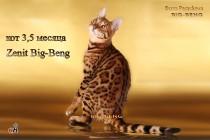 Бенгальский кот шоу-класса  Zenit BIG-BENG  продан