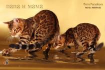 Бенгальский кот шоу-класса   BIG-BENG  продан