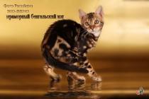 мраморный бенгальский котик =