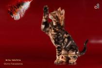 мраморный бенгальский котенок  продажа