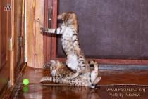 бенгальские котята в игре как хищники