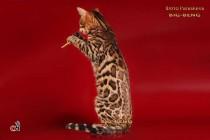 бенгальские коты бенгальские котята big-beng   проданы