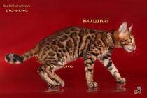 бенгальская кошка шоу-класса продана