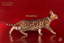 бенгальская кошка шоу-класса