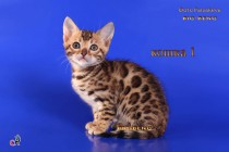 бенгальская кошка  полтора месяца дорого