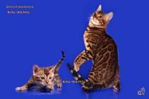 Бенгальская кошечка полтора месяца продажа Сайт bigbeng.ru 8-911-234-29-17 Наталья  Санкт-Петербург.