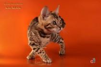 котенок-леопард