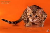 кошка породы бенгальская
