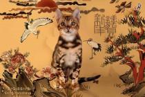 Мраморная бенгальская кошка  4 месяца
