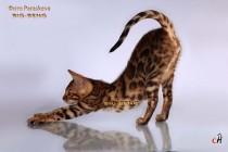 бенгальский кот шоу  класса 3 месяца