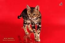 Бенгальский кот мраморный