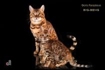 бенгальский котенок 1,5 месяца и бенгальский кот