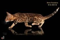 бенгальский кот шоу  класса