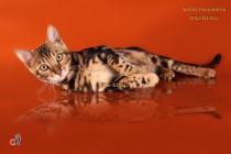 бенгальская кошка мраморная