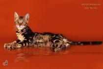 мраморный бенгальский котенок