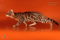бенгальский кот Огонек BIG-BENG